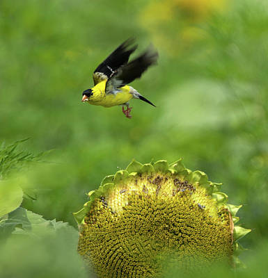 Photograph - Finch Flight by Art Cole