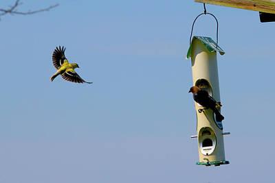 Photograph - Finch In Flight by Tony Umana