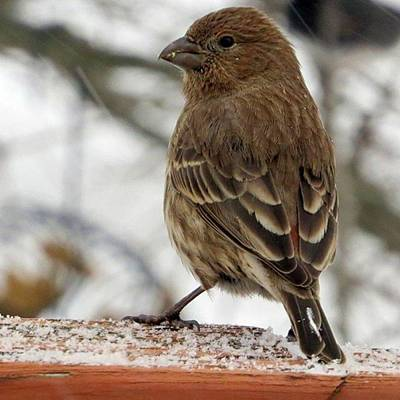 Finch Photograph - Finch In The Snowstorm  #finch by Tammy Finnegan