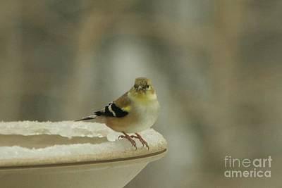 Photograph - Finch In Winter by Barbara S Nickerson