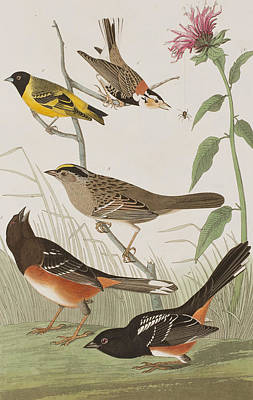 Arctic Drawing - Finches by John James Audubon