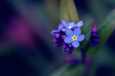 Find Me - Forget-me-not - Flower Art Print by Kristopher Winter