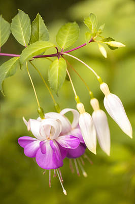 Photograph - Finding Fuchsia by Crystal Hoeveler