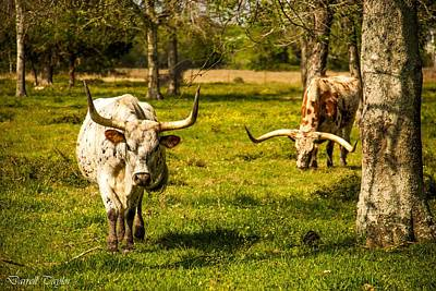 Fine Art America Pic 129 Texas Longhorns Print by Darrell Taylor