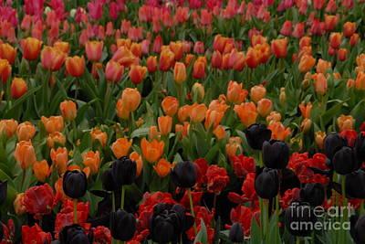 Garden Fruits - Fine art- field of tulips by Jenny Potter