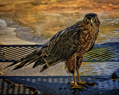 Mark Myhaver Royalty Free Images - Coopers Hawk No.32 Royalty-Free Image by Mark Myhaver