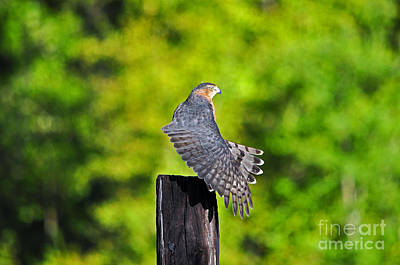 Buteo Lineatus Photograph - Fine Feathers by Al Powell Photography USA