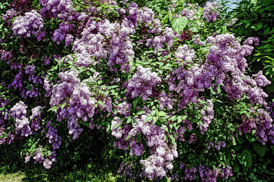Photograph - Fine Wine Cafe Lilac Bushes by Aimee L Maher Photography and Art Visit ALMGallerydotcom