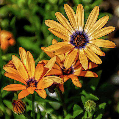 Photograph - Fine Wine Cafe Orange Daisy by Aimee L Maher ALM GALLERY