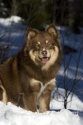 Dog In Snow Photograph - Finnish Lapphund by Jean-Louis Klein & Marie-Luce Hubert