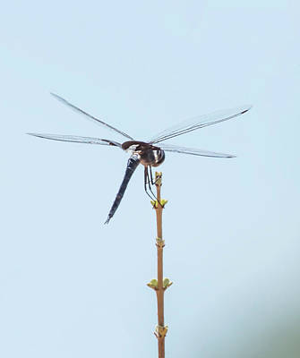 Photograph - Finnon Dragonfly by Wes Jimerson