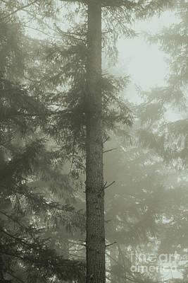 Fir And Fog Art Print by Charmian Vistaunet