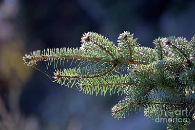 Fir Photograph - Fir Tree Branch by George Atsametakis