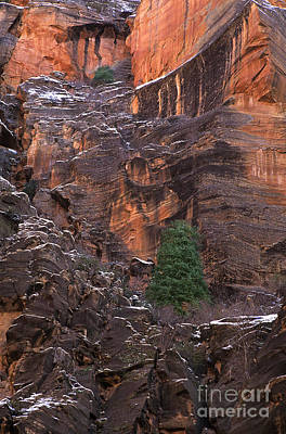 Photograph - Fir Tree Snow Covered Face Of The Temple Of Sinawava Zion National Park Utah by Dave Welling