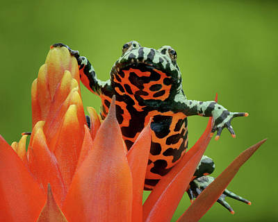 Photograph - Fire-bellied Toad by Nikolyn McDonald