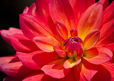 Photograph - Fire Pot Dahlia by Julie Palencia