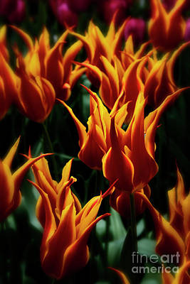 Photograph - Fire Tulip by Ana Mireles