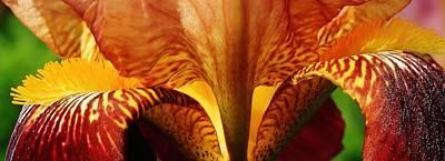 Photograph - Fireball Iris by Bruce Bley