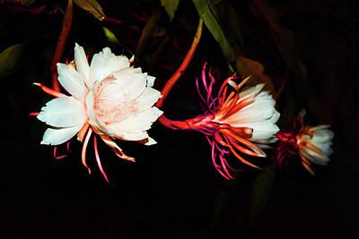 Epiphyllum Oxypetalum Digital Art - Fireburst by Belinda Nagy