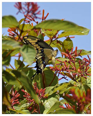 Photograph - Firebush Nectar by Carol  Bradley