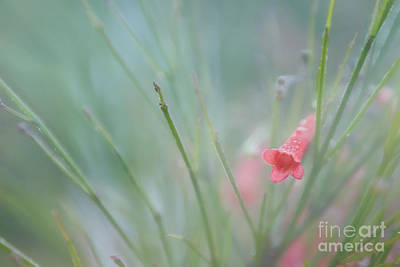 Photograph - Firecracker Flower In The Morning Fog by Olga Hamilton