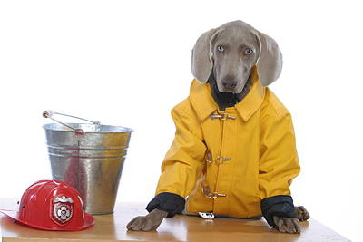 Weimaraner Photograph - Firedog by Nancy Ingersoll