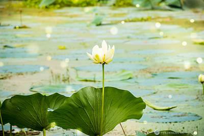 Photograph - Firefly Lilies by Teresa Blanton