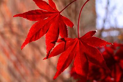 Photograph - Fireglow Japanese Maple 1 by Kathryn Meyer