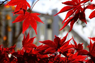 Photograph - Fireglow Japanese Maple 2 by Kathryn Meyer