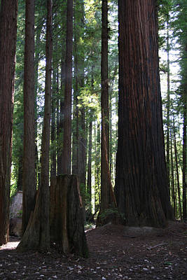 Photograph - Firemark Redwoods by Dylan Punke