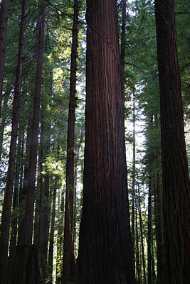 Photograph - Firemark Redwoods II by Dylan Punke