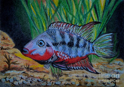 Drawing - Firemouth Cichlid Aceo by Yvonne Johnstone