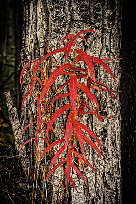 Photograph - Fireweed 2015 by Fred Denner