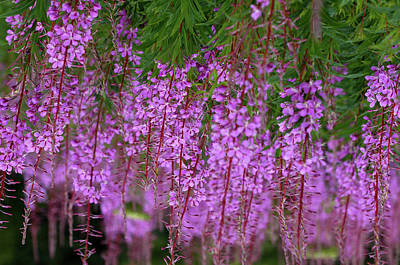 Photograph - Fireweed by Bill Williams