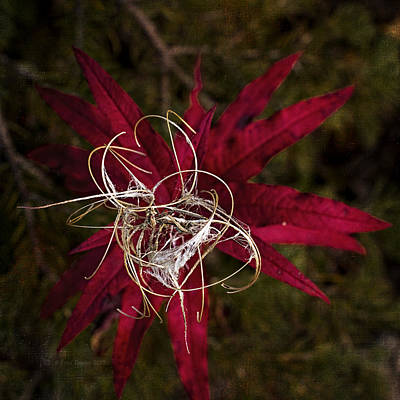 Photograph - Fireweed Seed by Fred Denner