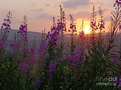 Photograph - Fireweed Sunset by Phil Banks