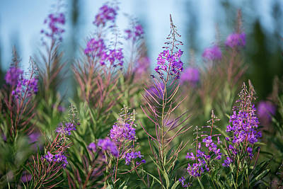 Photograph - Fireweed by Valerie Pond