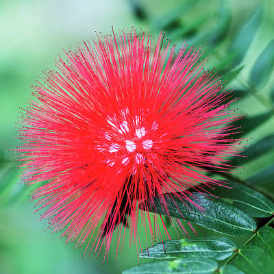 Photograph - Fireworks Flower In Nature by Vishwanath Bhat