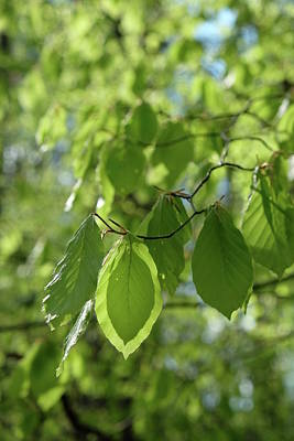 Photograph - First Beech Tree Leaves Spring Season by Martin Stankewitz