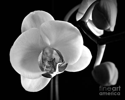 Photograph - First Bloom In Monochrome by Chalet Roome-Rigdon