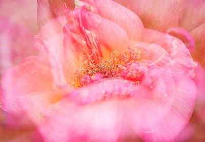 Photograph - First Blush by Alex Lapidus