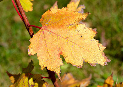 Photograph - First Golden Maple by Les Weber