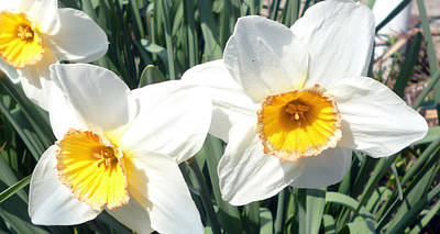 Photograph - First Narcissus In Spring by Laura Greco