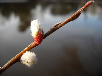 Photograph - First Pussy Willow Buds Of Spring by Kent Lorentzen