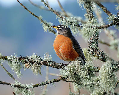 Photograph - First Robin Of The Spring by Greg Sigrist