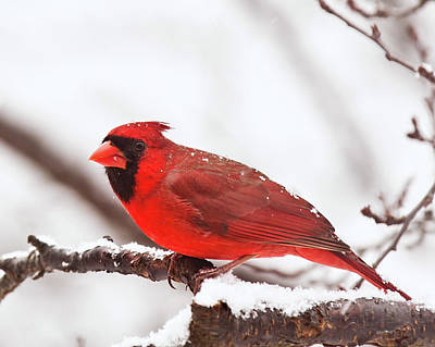 Photograph - First Snow Cardinal by Lara Ellis