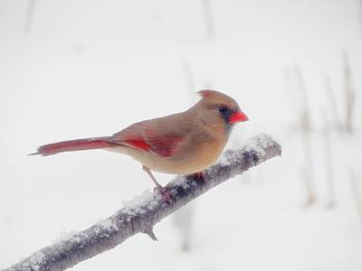 Photograph - First Snow - Female Cardinal Bird by MTBobbins Photography