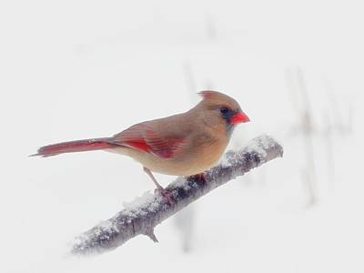Photograph - First Snow - Female Cardinal Bird - Winter White by MTBobbins Photography