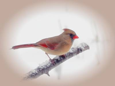 Photograph - First Snow - Female Cardinal Bird With Vignette by MTBobbins Photography