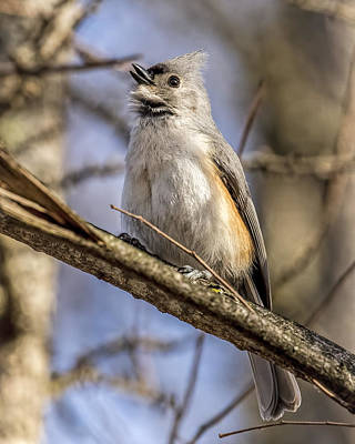 Tufted Titmouse Photograph - First Song Of Spring by Pat Eisenberger